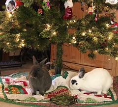 Still Celebrating Christmas (SilvrTabby) Tags: christmas bunnies