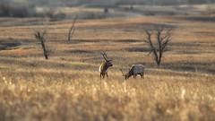 Elk grazing (Garett Gabriel) Tags: nature animals gg wildlife elk bullelk natureinwinter wildlifeinwinter winter2014 elkinwinter