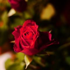 valentine (push 1) Tags: rose valentine