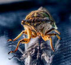 Cicada on a mirror
