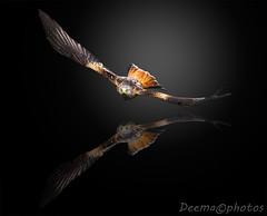 Red Kite Reflection (deemacphotos) Tags: uk reflection bird birds manipulated britain wildlife flight ornithology redkite birdlife gigrin ringexcellence dblringexcellence tplringexcellence eltringexcellence infinitexposure infiniteexposure