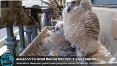3.18.2014_732pmcst_   Awww... soon will be OUR daytime! (Birder23) Tags: twilight feathers progress perching owlets defenseposture greathornedowlnest planternest alessondrasgreathornedowlcam 3182014 winggrowth owleteyes