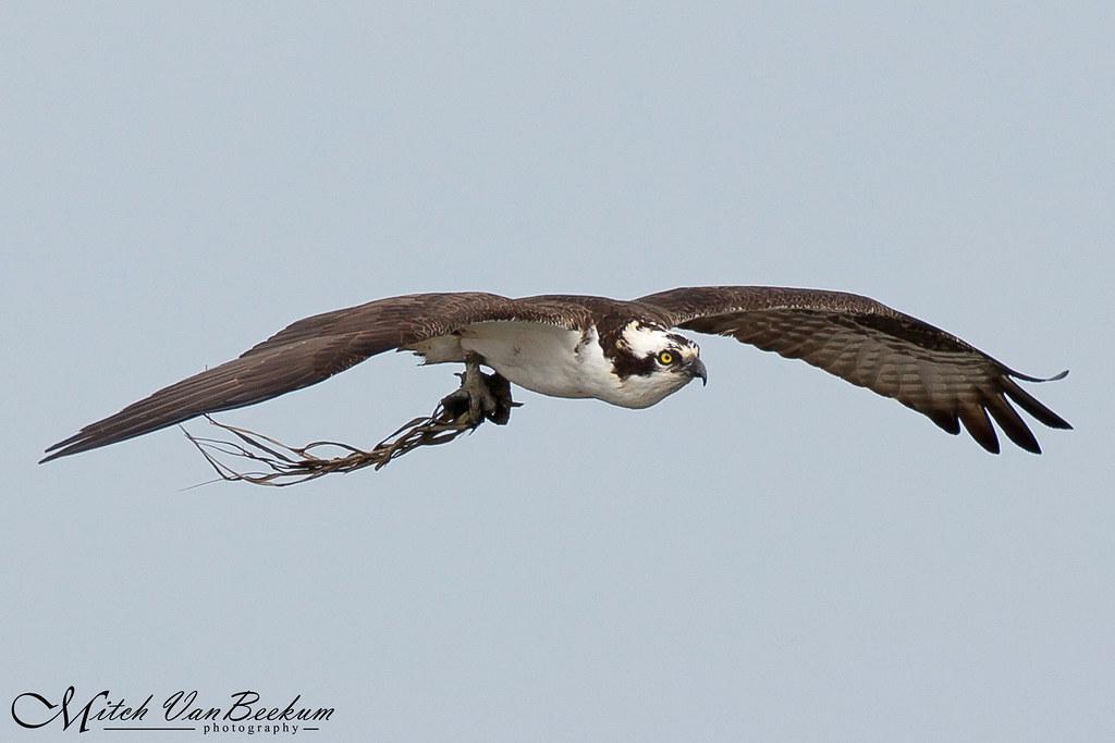 Nest Building (Osprey)