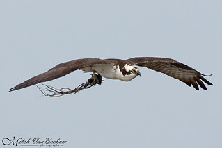 Nest Building (Osprey)