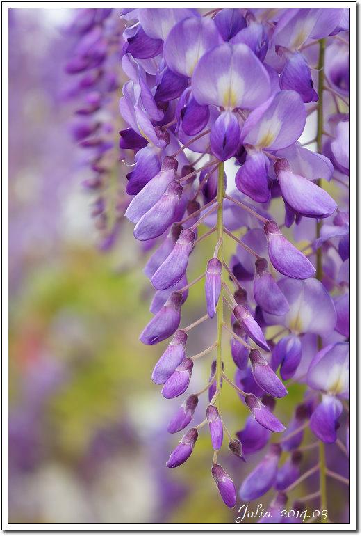 紫藤、老梅 (16)