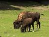 American buffalo with calf (John van Beers) Tags: france zoo calf bison kalf dierentuin bufallo americanbison lisieux bizon bisonbison hermivallesvaux lowernormandy amerikaansebizon parczoologiquecerza americanbufallo