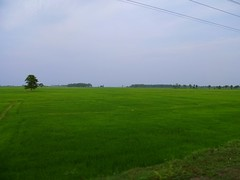 Sri Lanka rice fields (dover.rebecca) Tags: life travelling beach coast back packing east bums nomad everyday