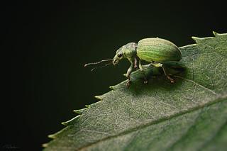 Green leaf weevil /Phyllobius maculicornis/