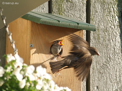 Last day in the nest (Finn Frode (DK)) Tags: birds garden nest sparrow chicks feed housesparrow passerdomesticus grspurv