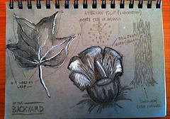 Nature Journal / Tulip Tree (philipmvetter) Tags: flower tree nature sketch leaf backyard indiana charcoal tulip draw strathmore toned