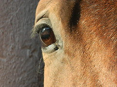 Eye horse (Clerss Malisha) Tags: horses horse pet brown white cute animal animals mammal dolce elegant cavalli cavallo domestico animali animale simpatico elegante painthorse tenero mammifero