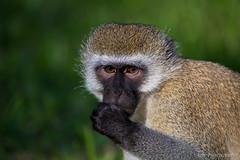 Monkey portrait (JD~PHOTOGRAPHY) Tags: africa portrait nature animal canon tanzania monkey wildlife monkeys primate vervetmonkey animalportrait canon6d africanmonkey malemonkey