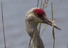 Sandhill Crane_5984 (Mike Head -Jetwashphotos) Tags: canada bird bc crane britishcolumbia delta ladner sandhillcrane westerncanada westhamisland reifelbirdsanctuary westernregion southdelta