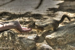 The Hungry Chipmunk (miketodack) Tags: food fun eat chipmunk hungry bold fearless gogetter dontbeshy gogetit takecareofyourself toursist funinmountains