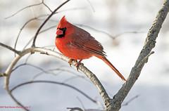 Cardinal (rumerbob) Tags: cardinal malecardinal songbird bird birdwatching birdwatcher nature naturewatcher peacevalleypark lakegalena canon7dmarkii canon100400mmlens