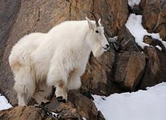 Mountain Goat on Cliff - 2538b+ (teagden) Tags: mountain goat mountaingoat cliff cliffs rocks snow jenniferhall jenhall jenhallphotography jenhallwildlifephotography wildlifephotography wildlife nature naturephotography wyoming wyomingwildlife winter winterscene winterphotography photography nikon wild