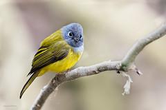 Grey-headed Canary Flycatcher (akram_mohan) Tags: ooty birds cunnoor cute tamil nadu india nilgiris