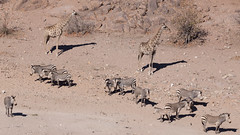 Hustle and bustle at the waterhole (dieLeuchtturms) Tags: 16x9 africa afrika bergzebra equidae equuszebra equuszebrahartmannae giraffacamelopardalis giraffe hartmannbergzebra hobatereconcession kunene namibia perissodactyla pferde säugetiere unpaarhufer vertebrata vertebrates wirbeltiere mammals mountainzebra roadsidewaterhole