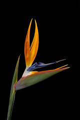 Lighting Up A Bird Of Paradise (Bill Gracey 15 Million Views) Tags: birdofparadise fleur flower flor color colorful orange blue green homestudio blackbackground offcameraflash strobe yongnuo softbox trigger tabletopphotography