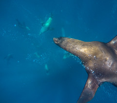 Watchful (Snirk) Tags: seal underwater gopro montague island seals narooma snorkelling animal