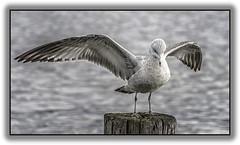 Gull landed on pier (jsleighton) Tags: gull landed wings spread newburgh waterfront hudson river bird