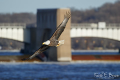 Bald Eagle (BirdFancier01) Tags: nature bird raptor eagle birdofprey mississippiriver iowa leclaire lockanddam14 water
