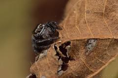 Salticidae (Evarcha sp. ?) sans proie (Rubus National Park, Bartrès) (G. Pottier) Tags: jumpingspider salticidae evarcha saltique