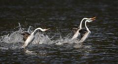 Three's a crowd (alicecahill) Tags: california usa wild wildlife ©alicecahill sanluisobispocounty bird clarksgrebe behavior grebe three dancing santamargaritalake animal