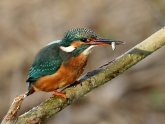 Kingfisher. (noelbarke) Tags: bird alcedo atthis blue back diver orange bright noel barke blacktoft sands fisher king perch hover alcedinidae