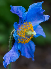 Blue poppy, vanDusen gardens, Vancouver (gks18) Tags: park blue flower nature floral beautiful closeup vancouver canon garden bc outdoor bloom vandusen naturethroughthelens