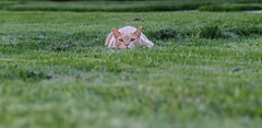 I've been spotted (Kerri Lee Smith) Tags: pet cats pets grass animal animals beige tabby jimmy attack cream kitty kitties buff tabbies felines pounce stalk