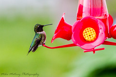 Hummingbird (matneym) Tags: bird birds canon illinois midwest hummingbird wildlife may 2013 eos7d