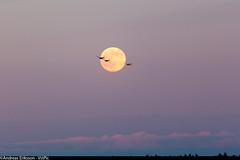 Saab Sk50 Safir (Andreas Eriksson - VstPic) Tags: moon evening saab safir