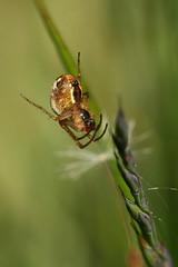Spider - Metellina sp (former-extog) Tags: spider bryncethin wfc bridgend 2013 penybontarogwr unature welshflickrcymru metellina bbcwalesnature bymikemccarthy canonef100mmf28lmacroisusm
