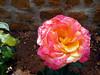 MultiColor Rose (Hanna Khoury) Tags: pink flower fleur rose yellow jaune blossom flor rosa fiore وردة زهرة ورد أصفر زهر برعم جوري بق