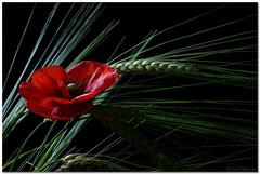 Poppy (aviana2) Tags: red flower blackbackground wheat grain poppy fantasticflower aviana2 sonyalpha350 fotocompetition fotocompetitionbronze fotocompetitionsilver fotocompetitiongold