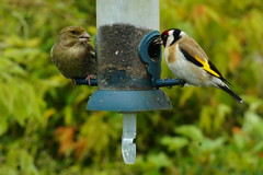 Two finches beginning with 'G' (peterdouglas1) Tags: birds garden goldfinch greenfinch