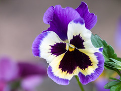 Pansy (James E. Petts) Tags: flowers pansy