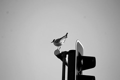 Bird (ErneC) Tags: bird trafficlight