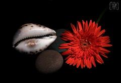 Shell. (vanila balaji) Tags: orange india flower canon eos rebel bangalore shell pebbles gerbera seashell canon50mmf18 karnataka orangegerbera vanila canon550d canont2i rebelt2i vanilabalaji