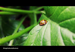 Ladybird (thepicturedrome) Tags: pictures uk summer nature garden cheshire image photos pics images photographs ladybird macclesfield 2013