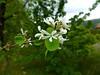 Amelanchier ovalis Medik. 1793 (ROSACEAE) (helicongus) Tags: rosaceae amelanchier spian amelanchierovalis jardínbotánicodeiturraran
