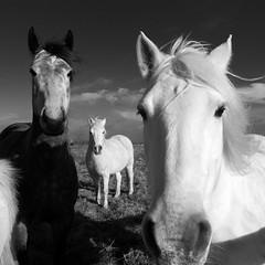 (thognu) Tags: horses blackandwhite bw horse monochrome square blackwhite noir squareformat et blanc ricoh wildhorses top25f ricohgrd grd4 allxpressus grdiv ricohgrd4