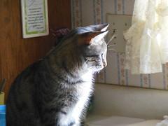 Shakari being pensive (denebola2025) Tags: cat pose utah north thoughtful thinking pensive ponder ogden pondering