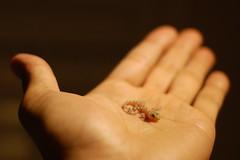 baby gecko (Saka76) Tags: baby hand gecko babygecko