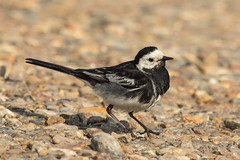 Pied Wagtail-2111 (WendyCoops224) Tags: canon eos norfolk busy pied nonstop brancaster wagtail staithe 600d 100400mml