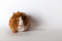 Carl (mrsm_jones) Tags: portrait pet baby white cute home animal canon studio photography eos guinea pig guineapig jones ginger photographer child purple turtle background small michelle adorable australia perth carl western wa backdrop mk2 5d mkii cavie hopwood 24105mm petography 5d2 5dii 5dmkii