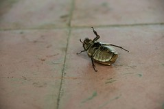 Cockroach (kieranburgess) Tags: detail up closeup insect dead close floor pest cockroach plague infestation scourge