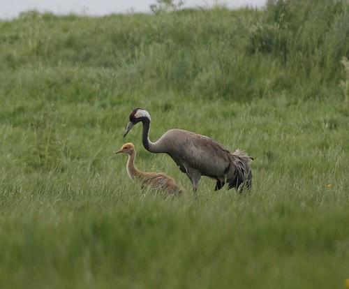 Crane & Chick © rspb