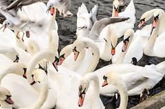 Feeding the Alster swans